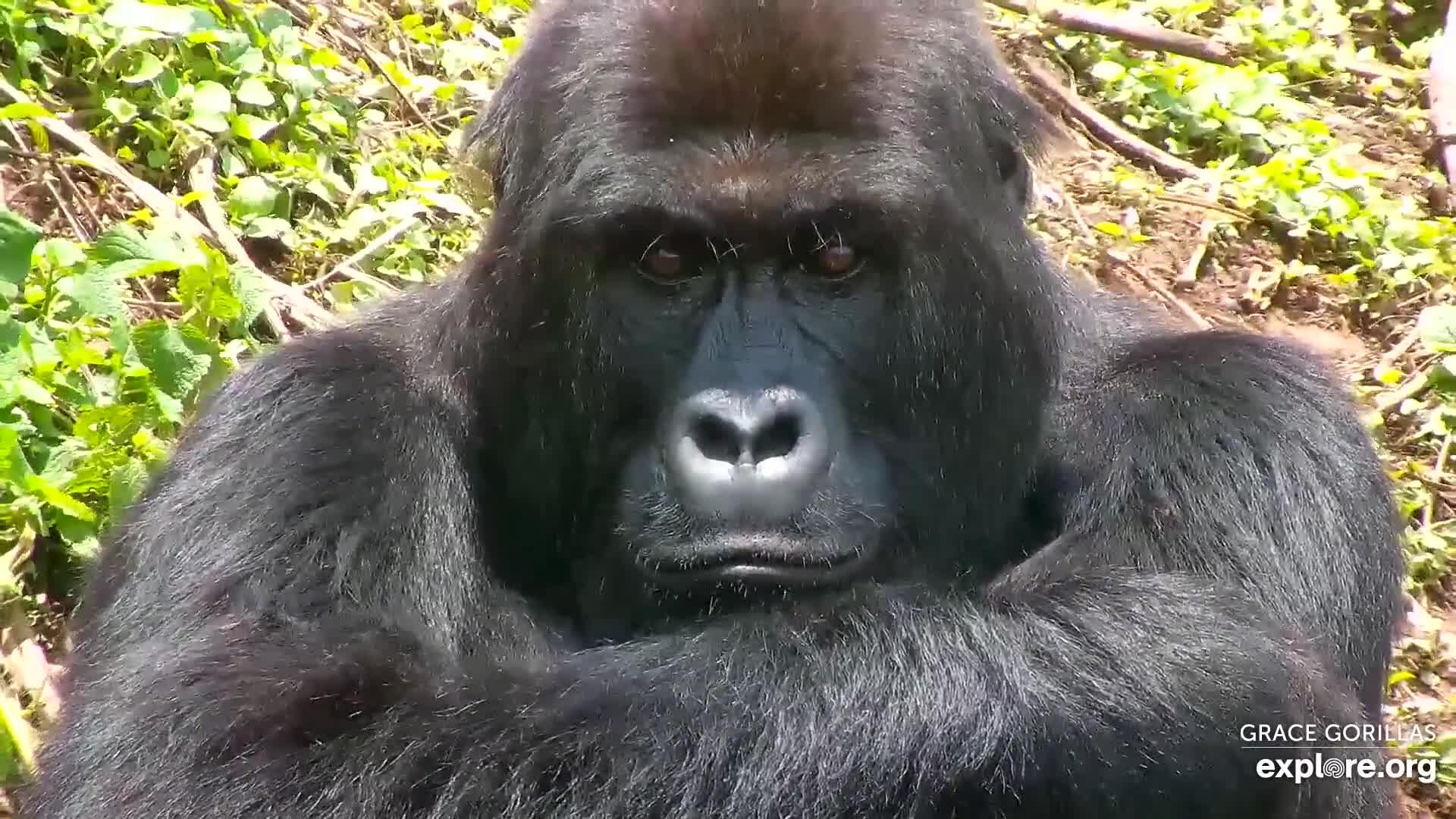 Grauer's gorilla