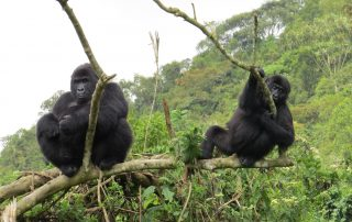 Adult female Serufuli and young female Lulingu sit near each other on a branch.