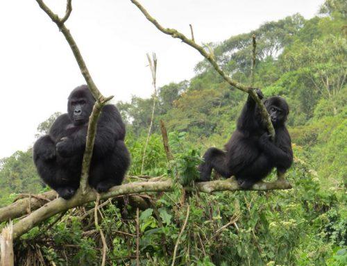 Preparing Gorillas for Reintroduction
