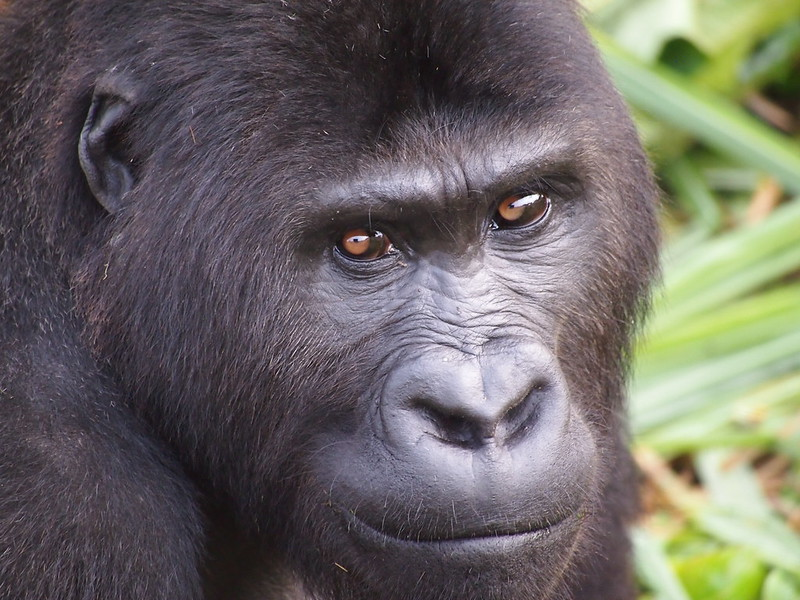 A closeup of the face of a Grauer's gorilla at the GRACE sanctuary.