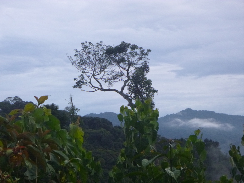 A view of the Tayna landscape shows a tree in the distance with a great ape nest near the top.
