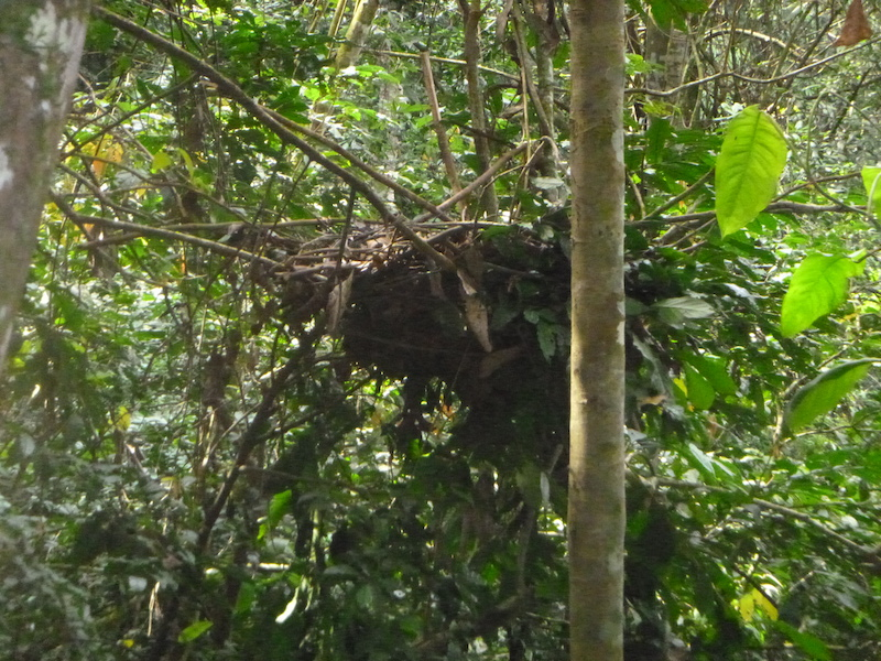 A great ape nest, formed from a dense cluster of sticks and vegetation, in a tree.