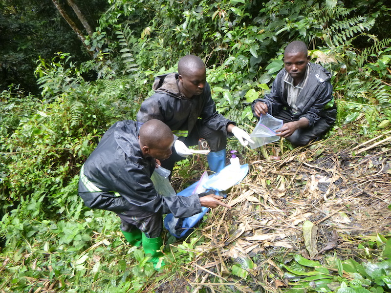 Three great ape survey field team members crouch next to a great ape nest on the ground and collect a fecal sample.